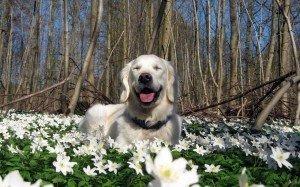 dog walks in spring